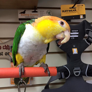 A parrot inspects the Ruffwear dog harness display