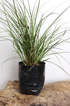 Green Carex