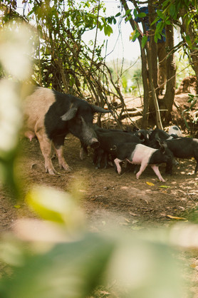These pigs were purchased through a Haiti Village Project Microloan.  Instead of just giving people donations, the microlending model gives a person ownership in their success. They are vested financially and are able to have the pride of being able to repay the loan so that they, and others in their communities, can also benefit from future loans.