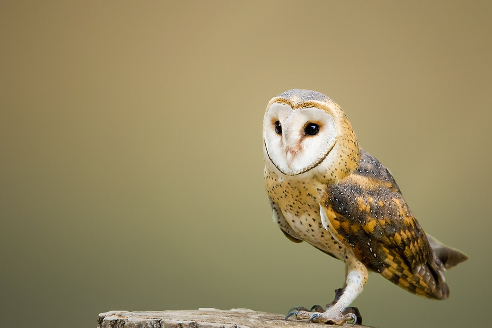 A single barn owl sits on a tree stump