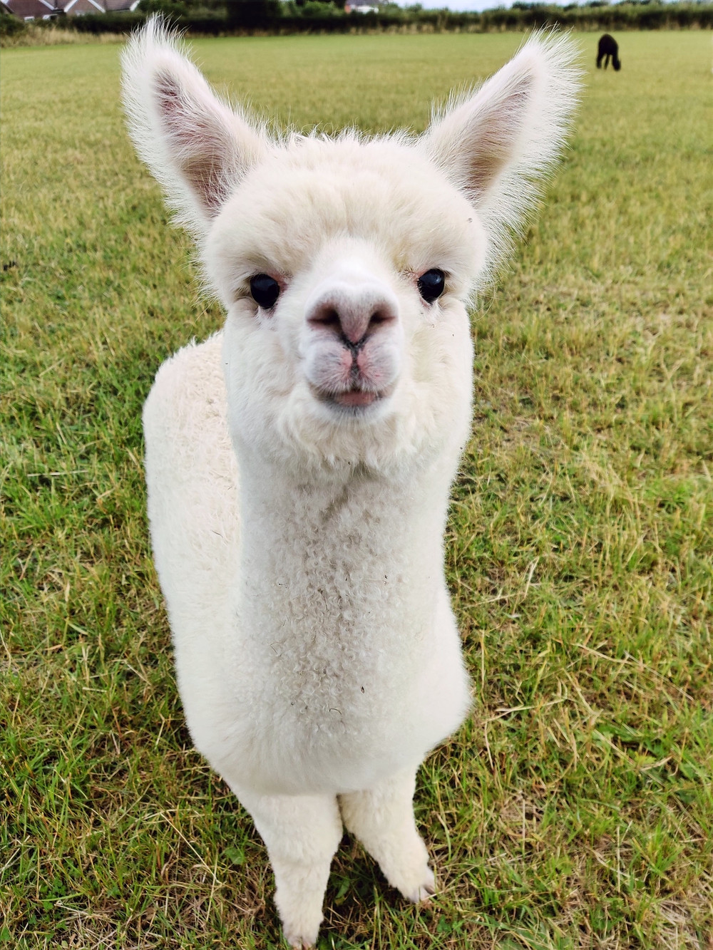 White huacaya alpaca Cria from Candleford Cottage