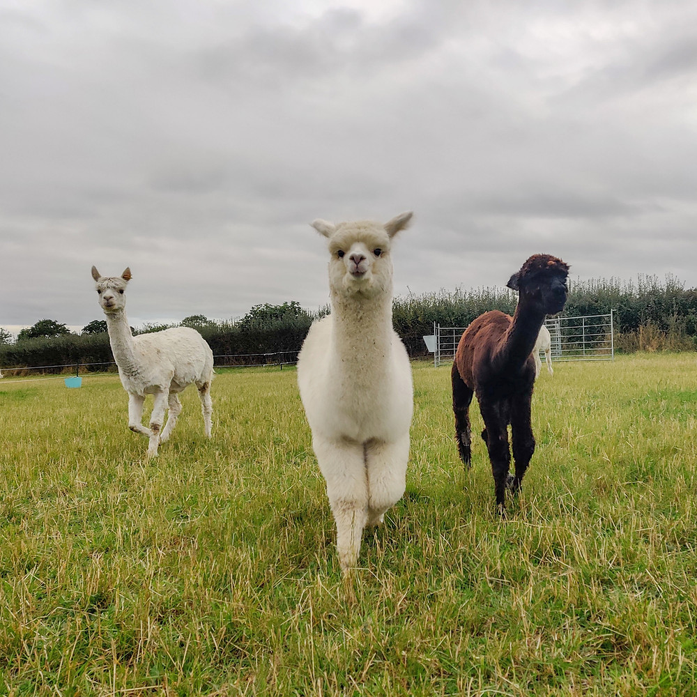 Alpacas Amelia, Mary and Merry from Candleford Cottage