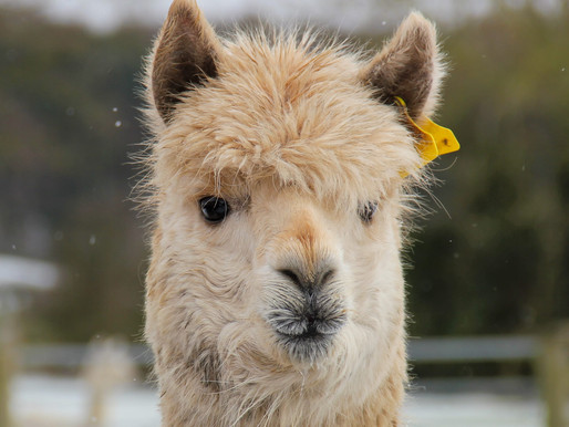 So where is Nicole's cria? How long until a baby alpaca is born?