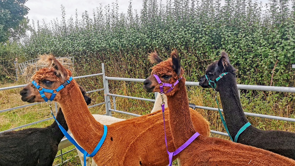 Clooney, Cangaroo and Curly Wurly, three alpacas ready to go for a walk in the Derbyshire countryside