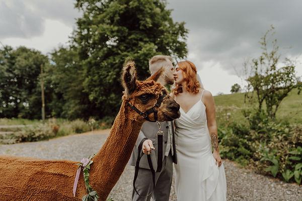 Candleford Alpacas at a wedding photoshoot at Haarlem Mill