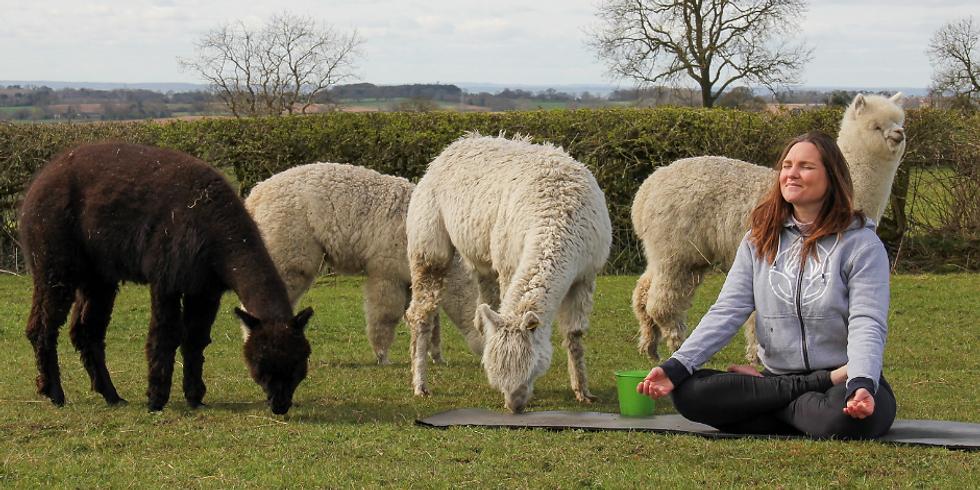 Yoga & Alpacas