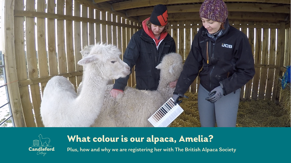 James and Sarah of Candleford Alpacas choose the colour of Candleford Amelia a young alpaca bred on our small holding