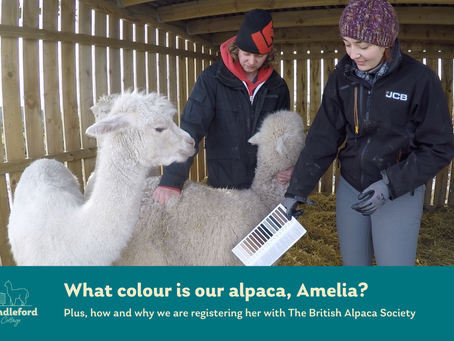 What colour is our alpaca and why are we registering her?