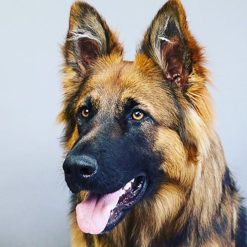 Professional portrait of german shepherd dog