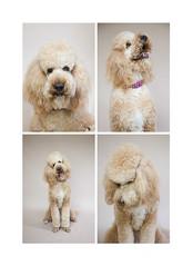 Professional dog photoshoot in the Auckland studio of Angela Scott Photography