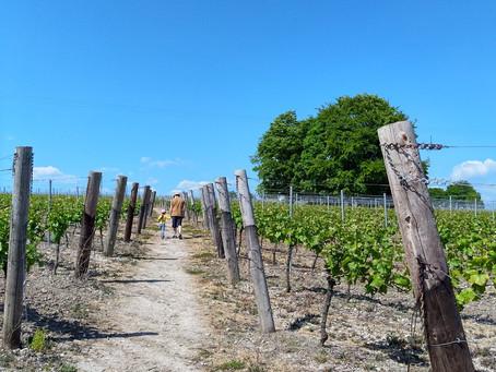 Blue Skies, Blue Beetles, Vineyards & Wheat Fields