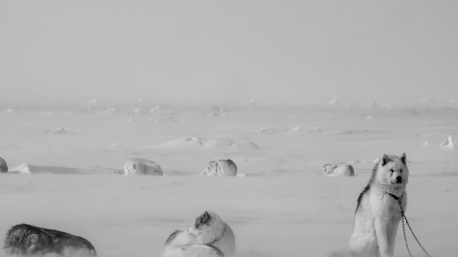 Vikie Brabant, Ivakkak et le retour des chiens Inuits