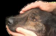 healing dog.png