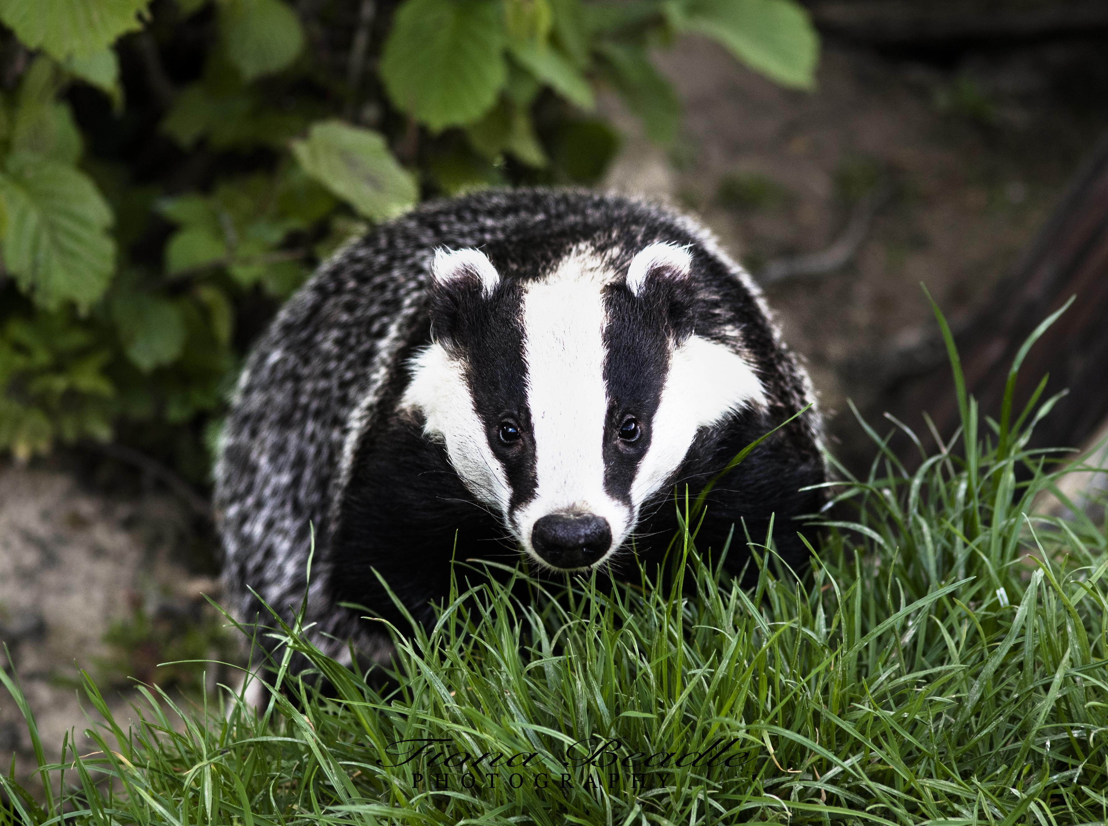 badger 1