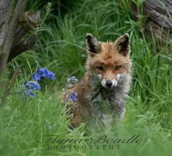 Fox & Bluebells 1