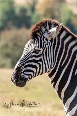 Zebra & Logo