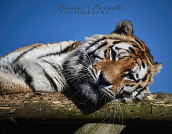 tiger 2 copy