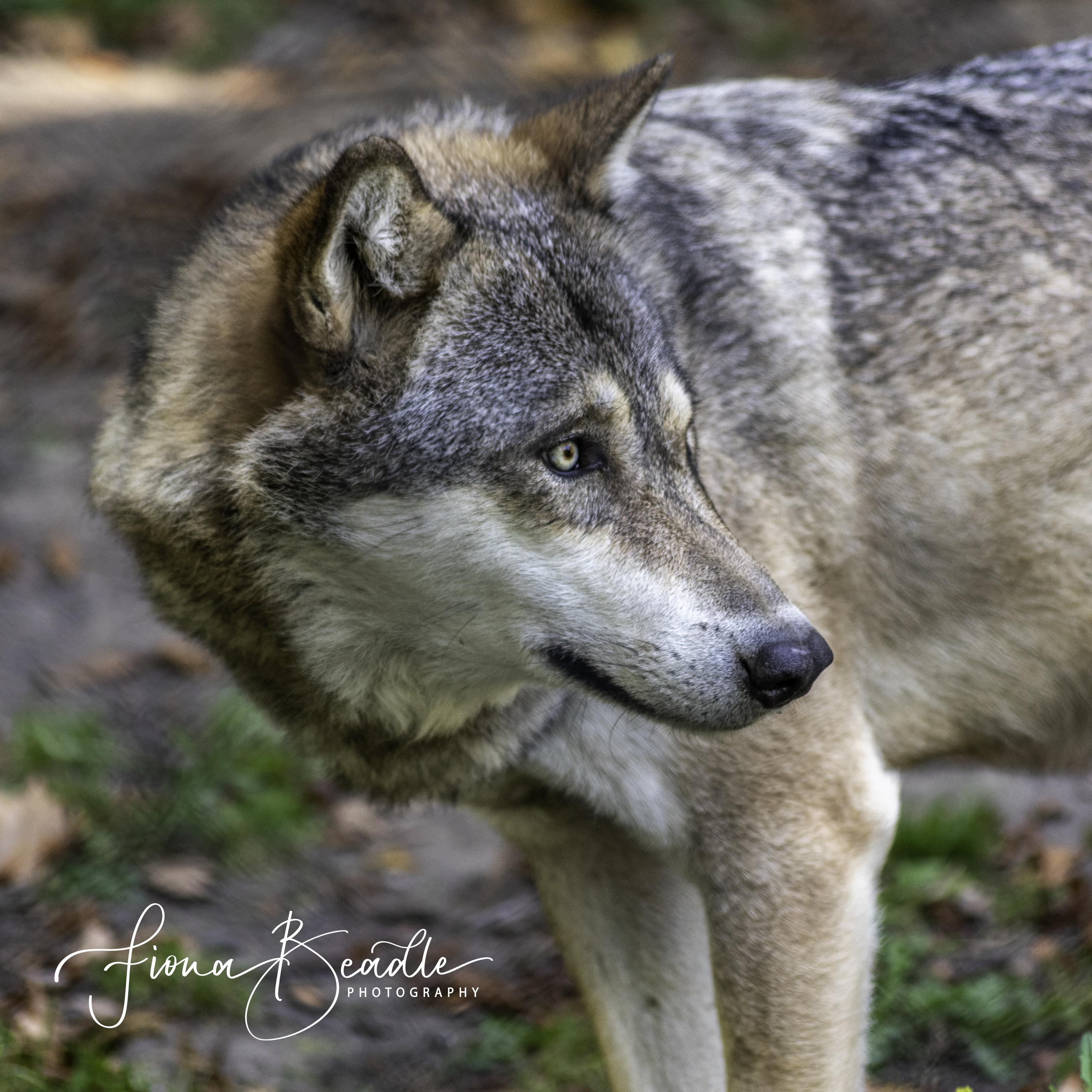 Wolf & logo