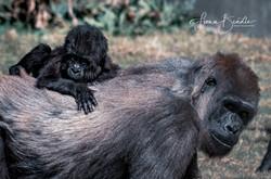 gorilla-1-2
