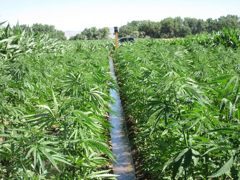 Field of Hemp Plants Growing
