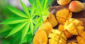 Mangoes and Cannabis