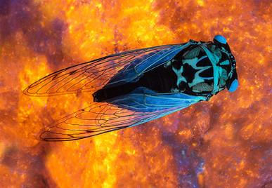 Cosmic Cicada