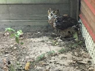 eurasian eagle owl.png
