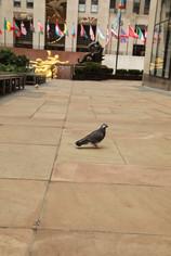 Rockefeller Center pigeon