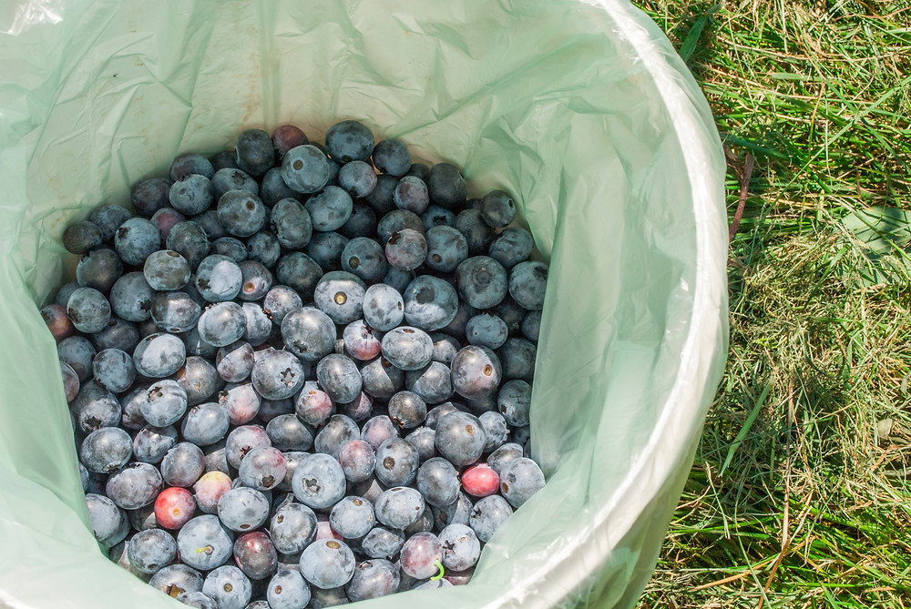 blueberry bushes, pick your own berries, preserving, canning, summer berries