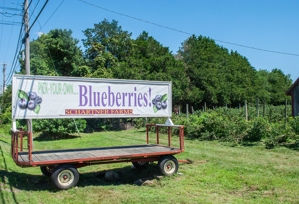 pick your own blueberries, summer berries, preserving, canning