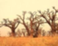 foret de baobabs en quad saly