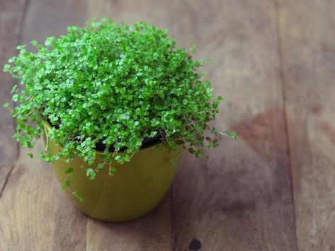 Bubikopf überwintern – Tipps für Freiland- und Kübelpflanzen