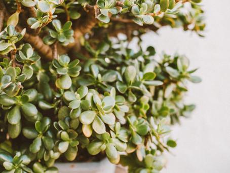 Zoom Plante : Crassula ou l'arbre de Jade