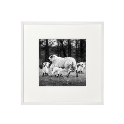 Suckling Lambs