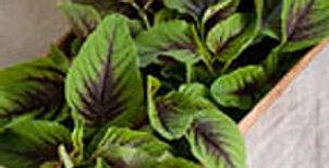 Calaloo - red-green leaf