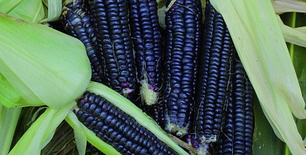 Corn - Black Aztec