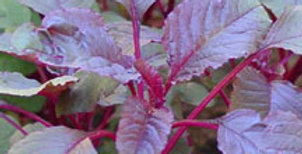 Calaloo - red leaf