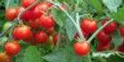 """Tomato -  wild """"Zeus"""" Cherry"""
