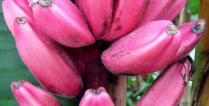 Wild pink Banana