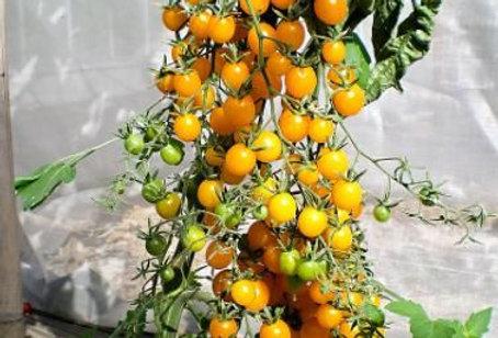 Tomato - Wild Galapagos yellow