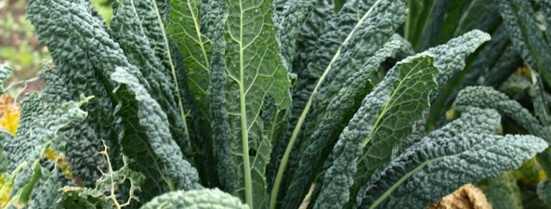 Kale, Lacinato