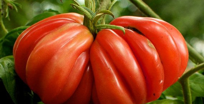 Tomato - Zapotec