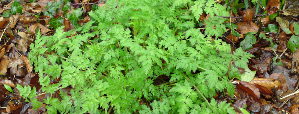 Wild Japanese Parsley