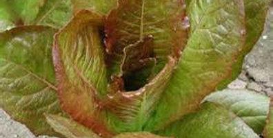Lettuce - Rouge D'hiver