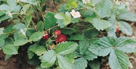 Strawberry - Alpine