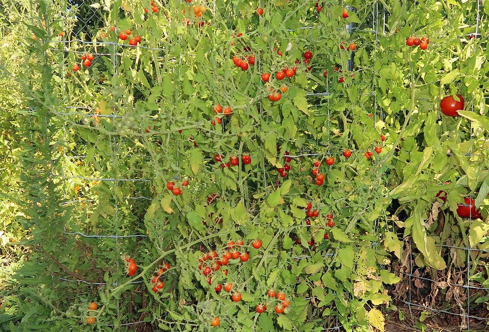 Tomato - Chiapas