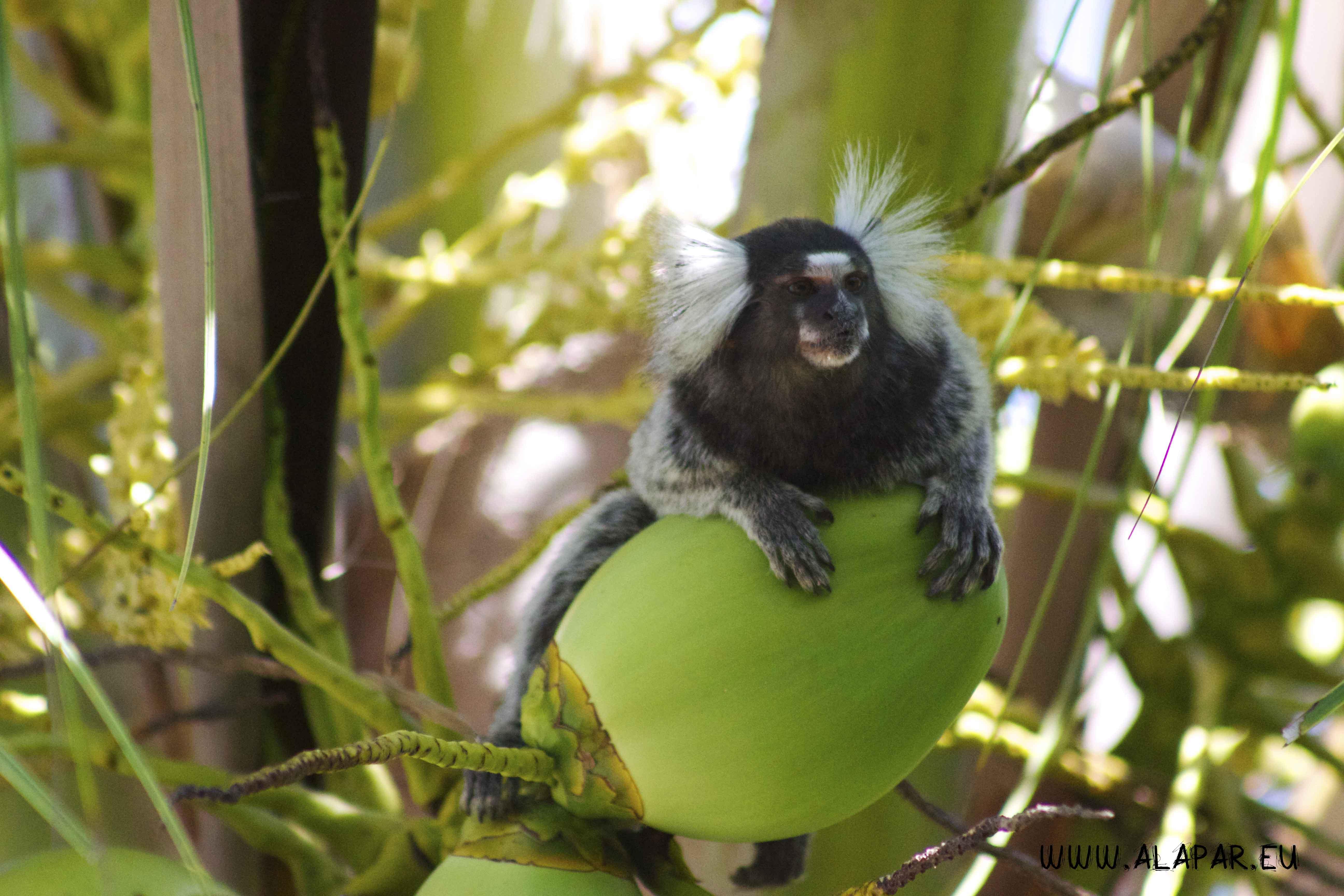 Sagui macaco