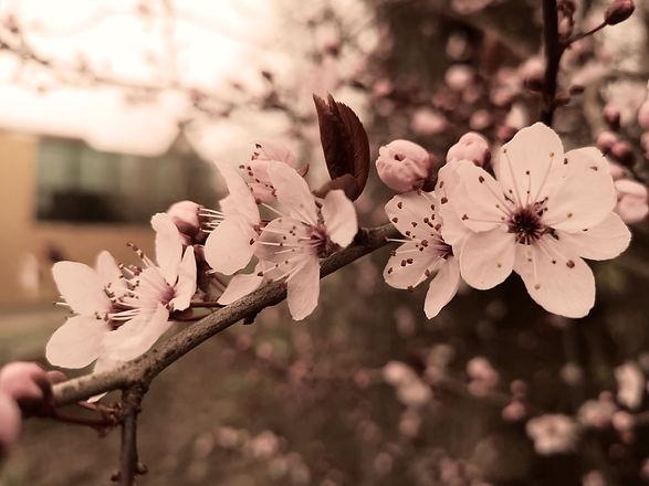 cherryblossom_edited.jpg