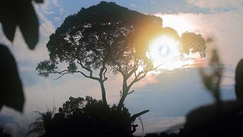 ジャングルの樹
