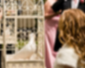 Lovey-dovey white dove in ornamental cage on display at a wedding in sussex